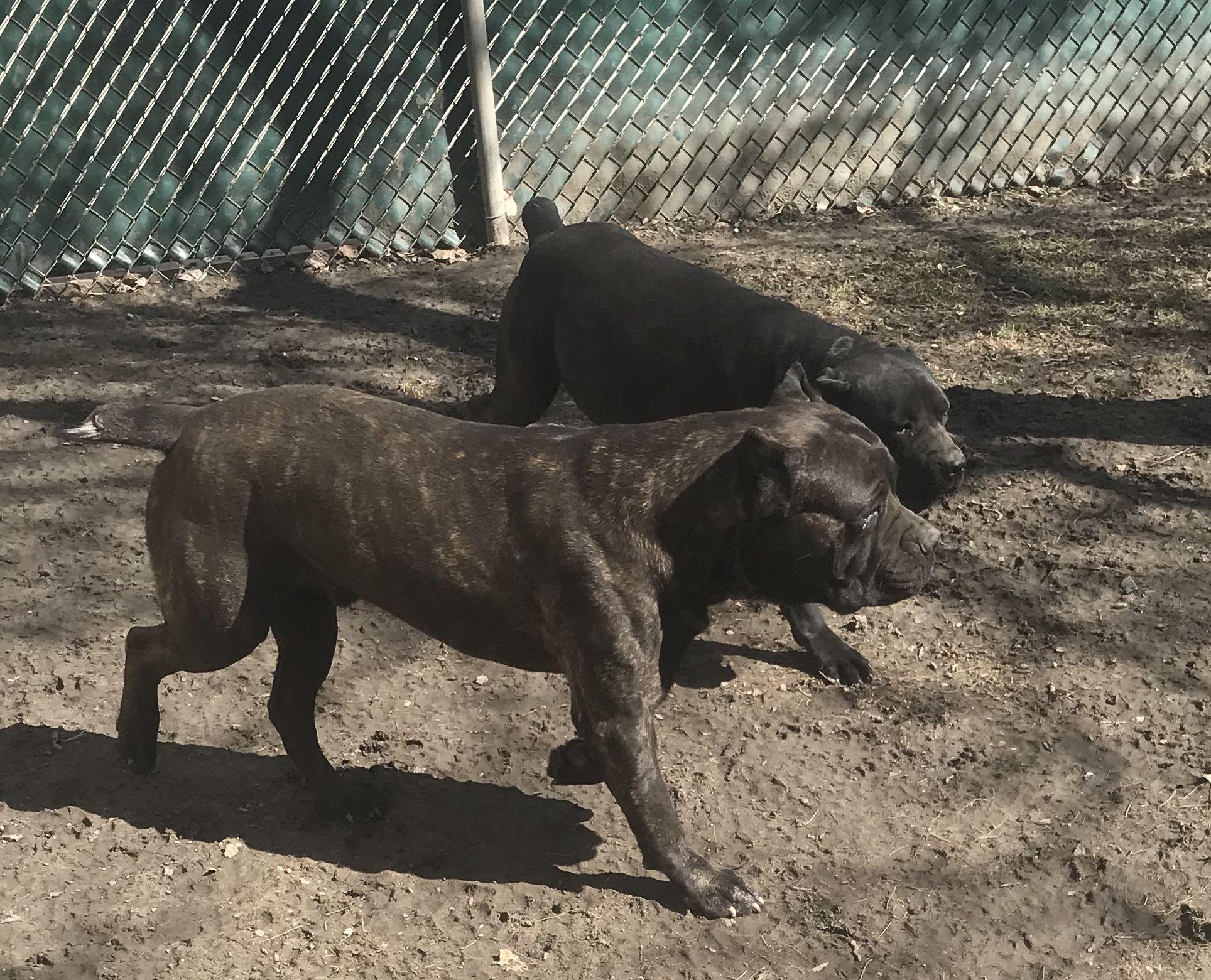Cane Corso Puppies For Sale Belleville Mi Cane Corso Cane Corso Puppies Puppies For Sale