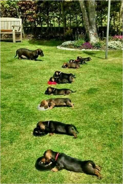 All right now everybody line Up!! Dachshund puppies