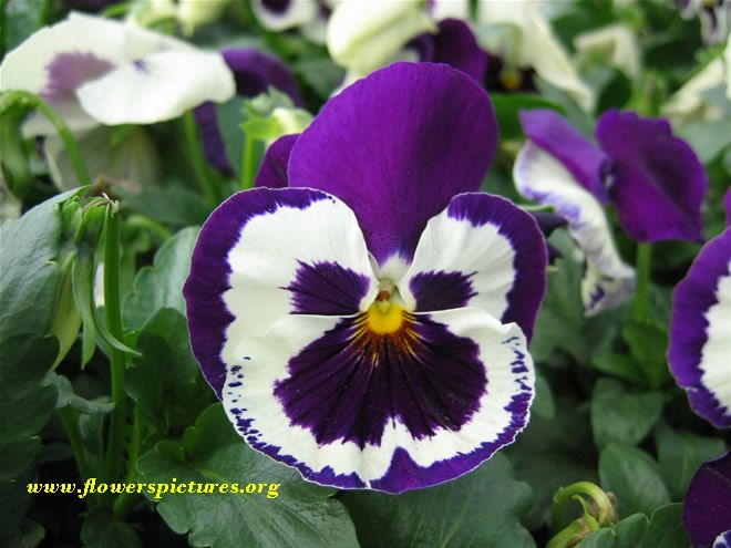 Purple Pansy Pictures Pictures Of Purple Pansy Flowers Pansies Purple Pansy Pansies Flowers