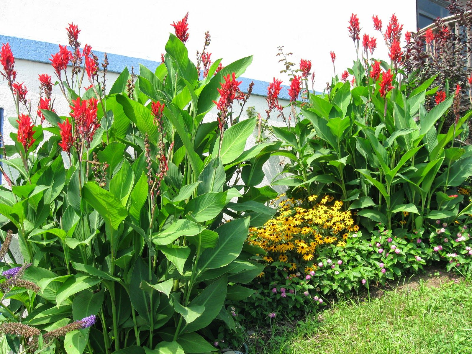 cannas plants cannas are lush tropical plants grown as perennials in garden zones 8. Black Bedroom Furniture Sets. Home Design Ideas