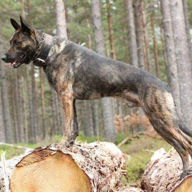 Knpv Dutch Shepherd X Malinois Belgian Malinois Working Dogs Dutch