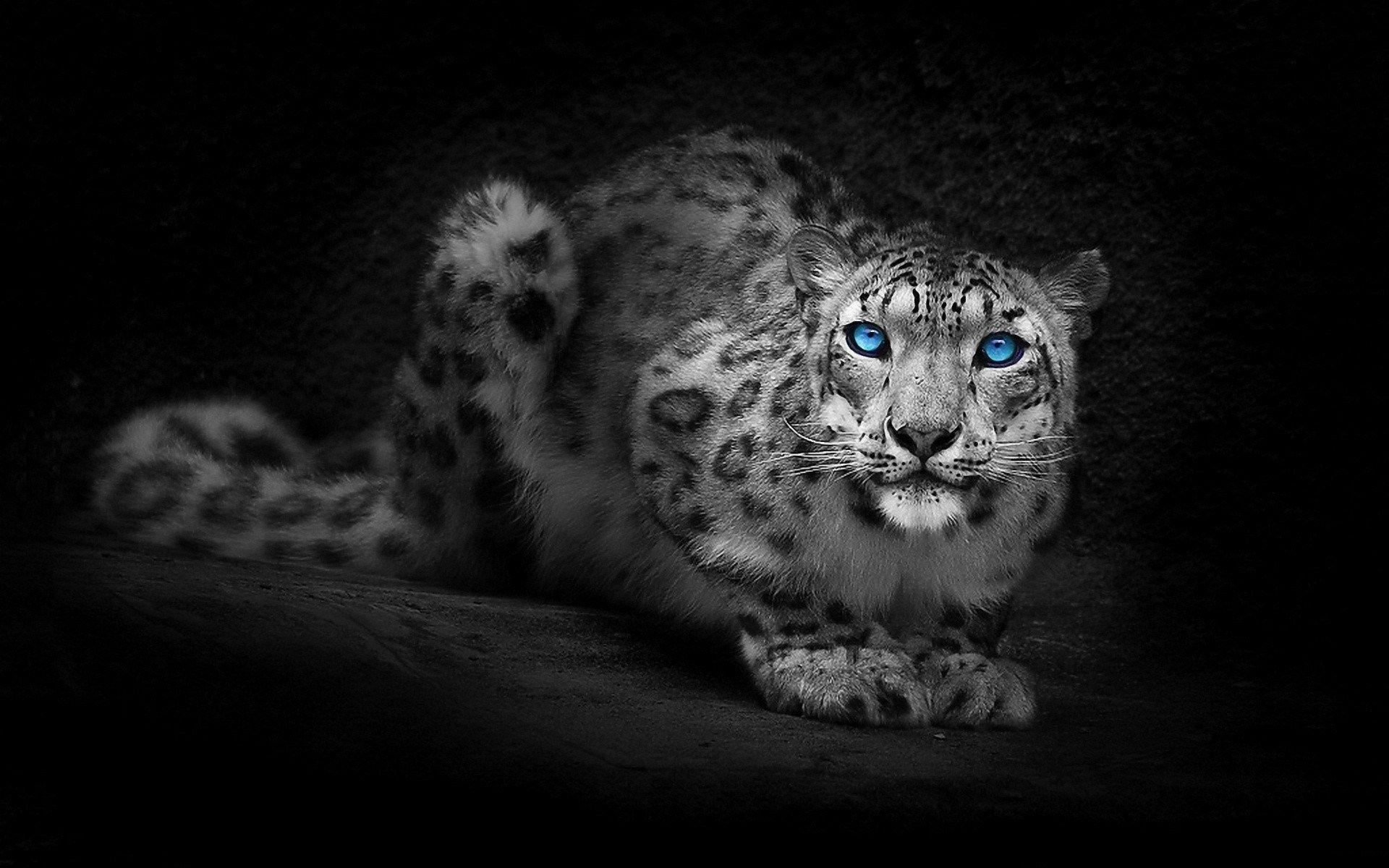 Free computer snow leopard wallpaper snow leopard