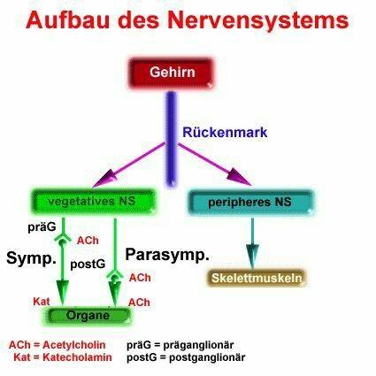 Nervensystem, Unterteilung incl verschiedener Systeme und Funktion ...