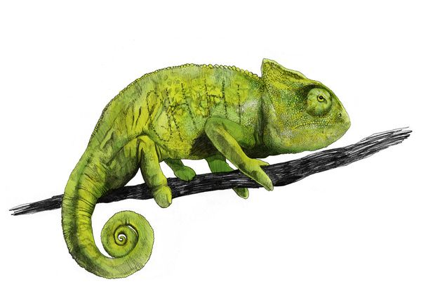 Nice Chameleon by Jamie Mitchell