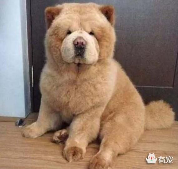 chow chow dogs tigers wolves and squids pinterest tigers wolf and dog. Black Bedroom Furniture Sets. Home Design Ideas