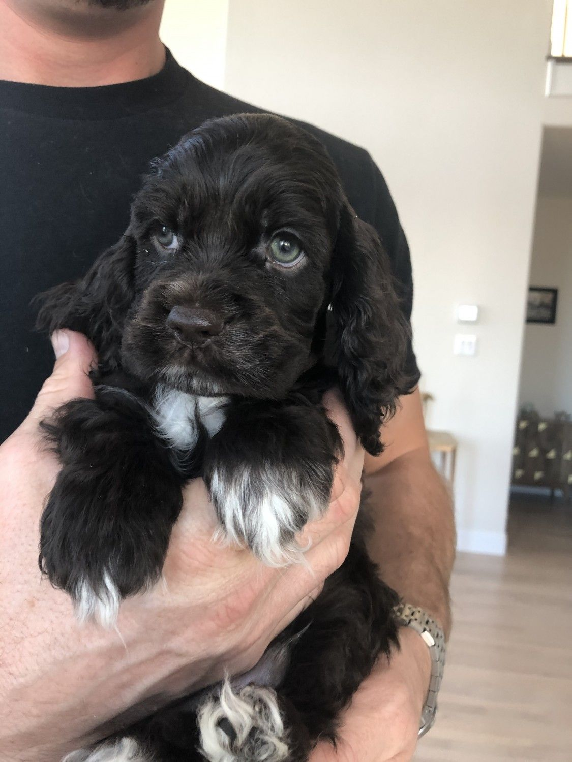 Pin On Cocker Spaniel Puppies