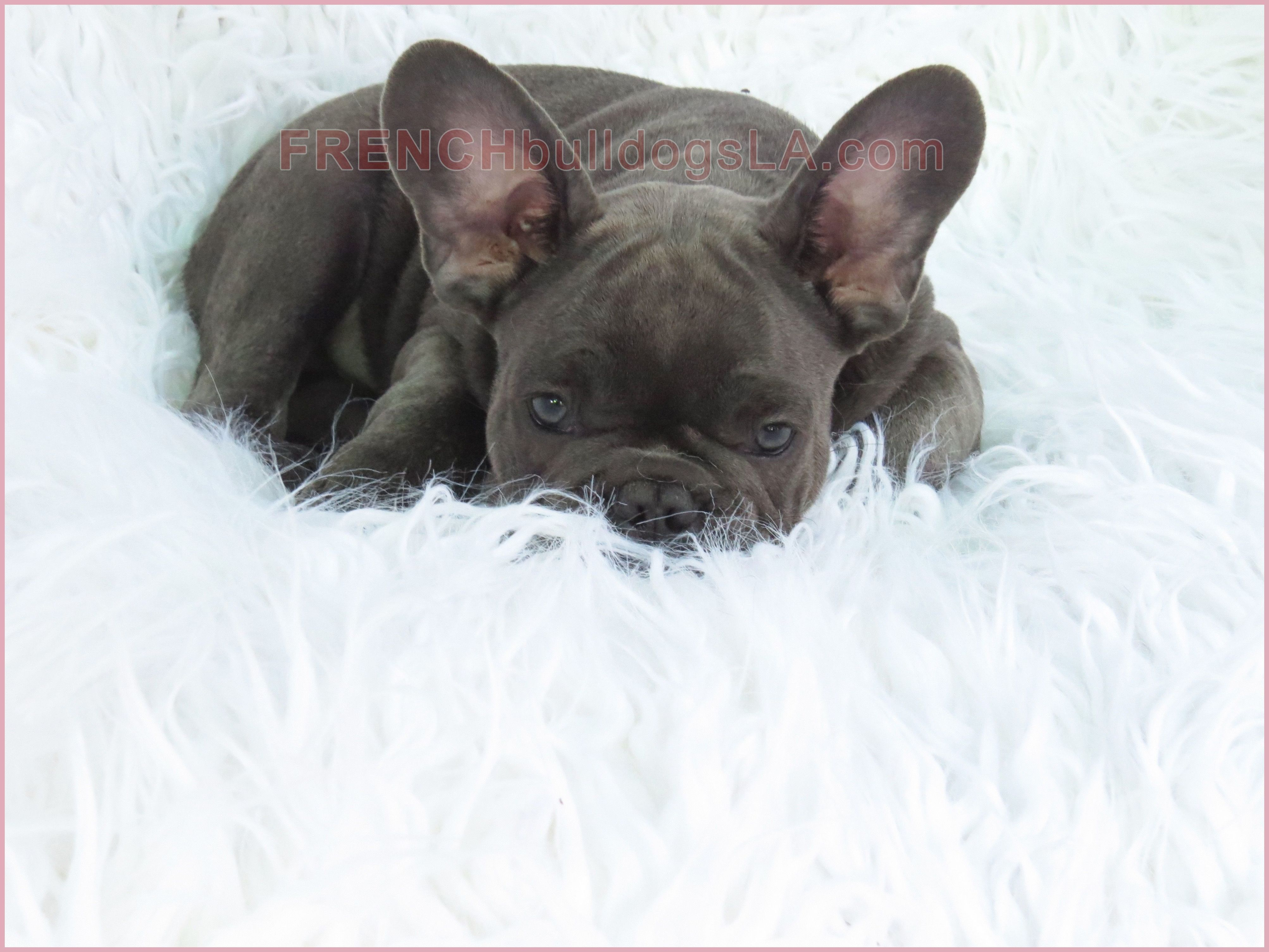 French Bulldogs Average Around Three Young Puppies Per Litter