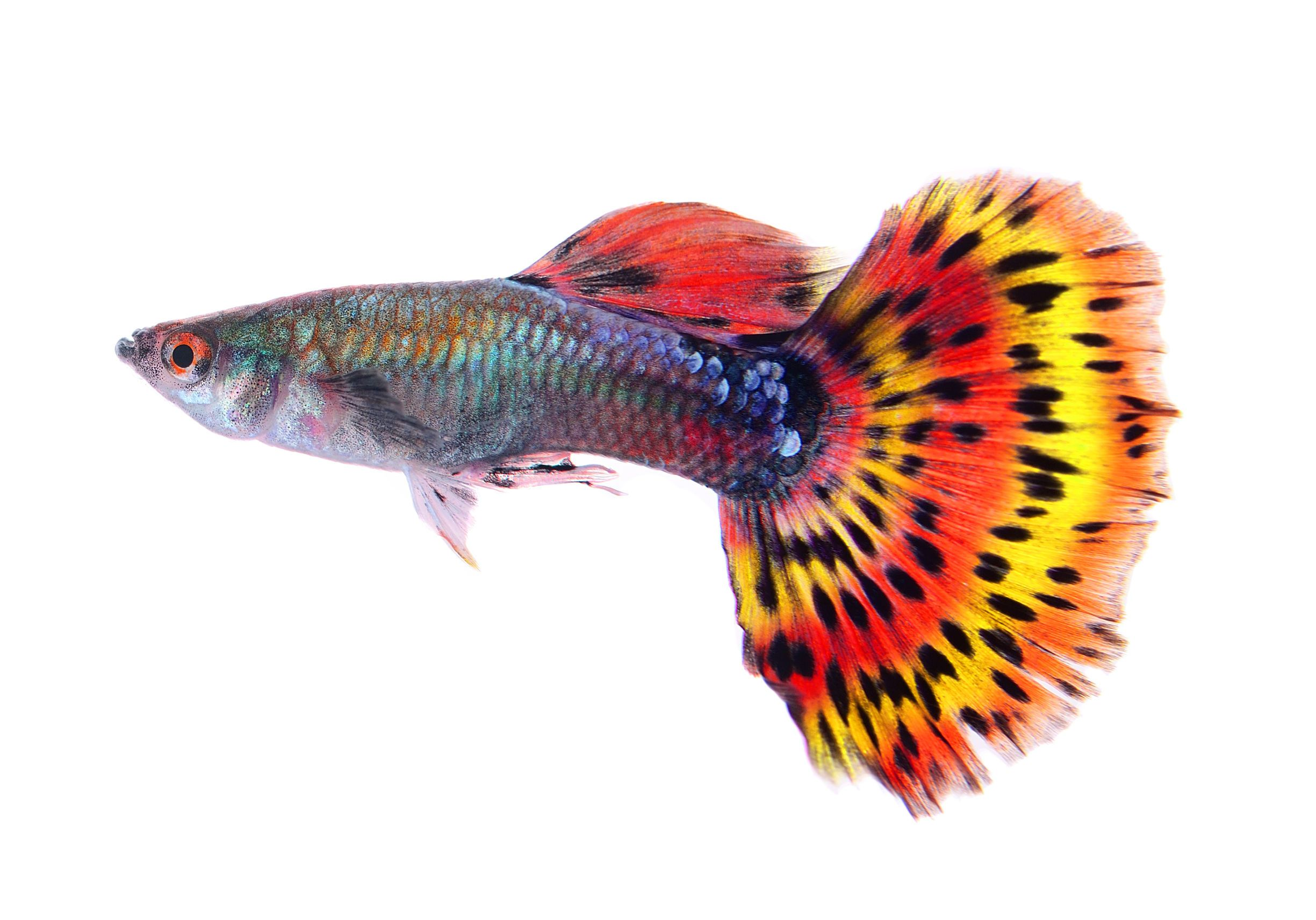How Long Do Guppies Take To Grow Guppy Fish Fish Guppy