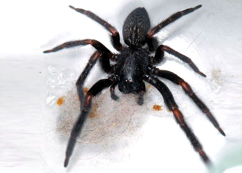 Black House Spider Black House Spider Spider Dangerous Spiders