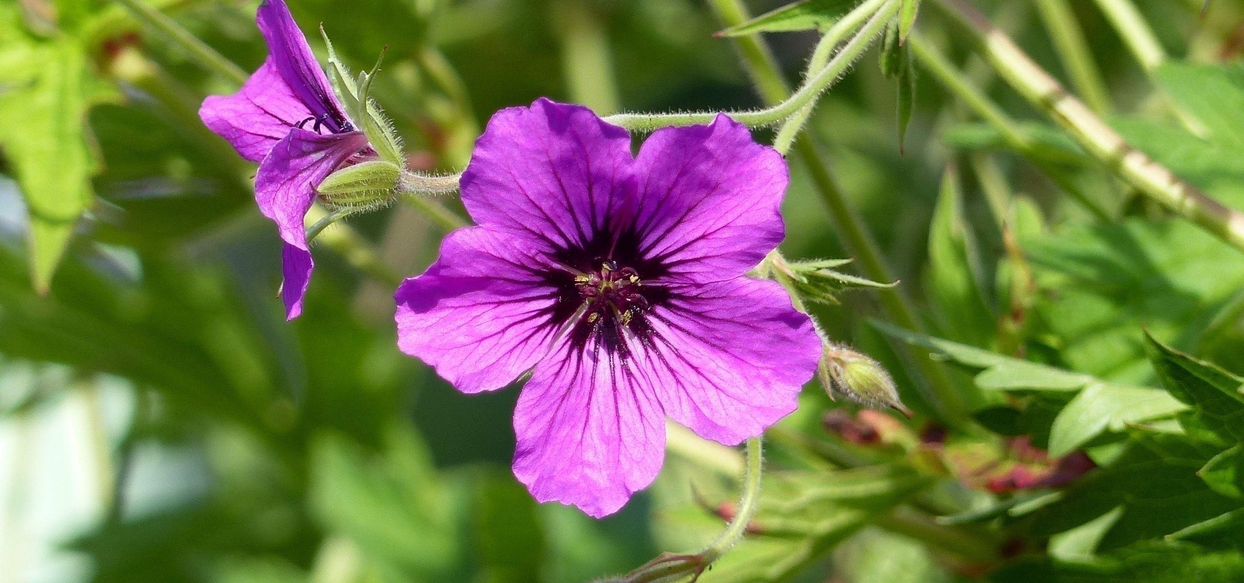 Les Geraniums Vivaces A Longue Floraison Geranium Vivace
