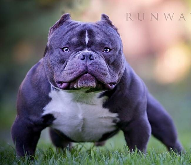1 937 Likes 12 Comments American Bully Americanbully On Instagram American Bull Bully Esotik Instago Bully Breeds Dogs American Bully Bully Dog