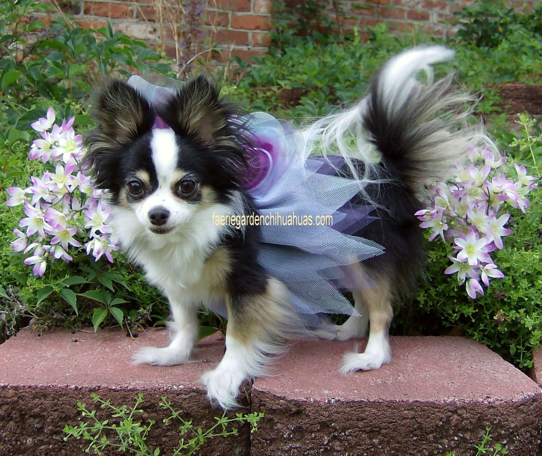 Violet From Faerie Garden Chihuahuas Chihuahua Chihuahua Lover