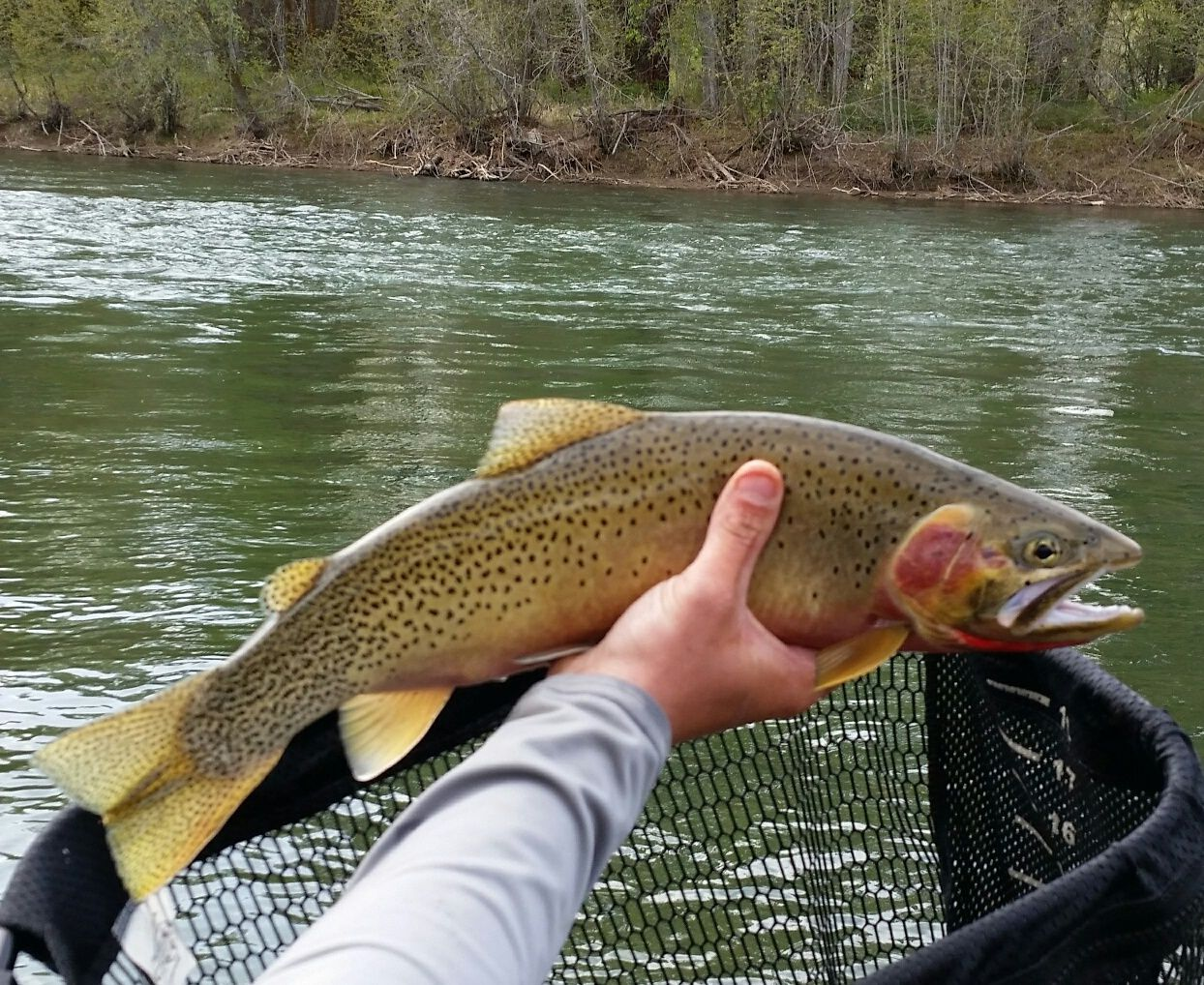 18 West Slope Cutthroat Trout Yakima River Washington Caught On A 1920 S Montague Radio Model Bamboo Fly Rod Bamboo Fly Rod Fishing Pics Cutthroat Trout