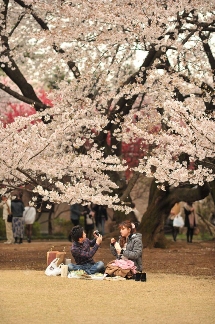 Sakura Shinjuku And Yotsuya Cherry Blossoms Cherry Blossom Japan Aesthetic Japan Japan Sakura