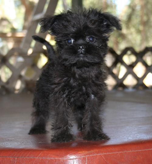 Affenpinscher Puppies basically originated from the