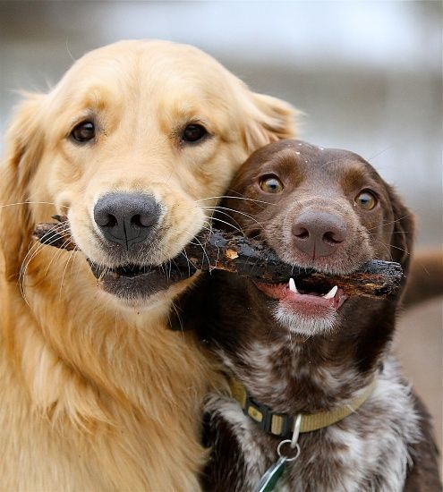 This Golden Retriever And German Shorthaired Pointer Are Playing