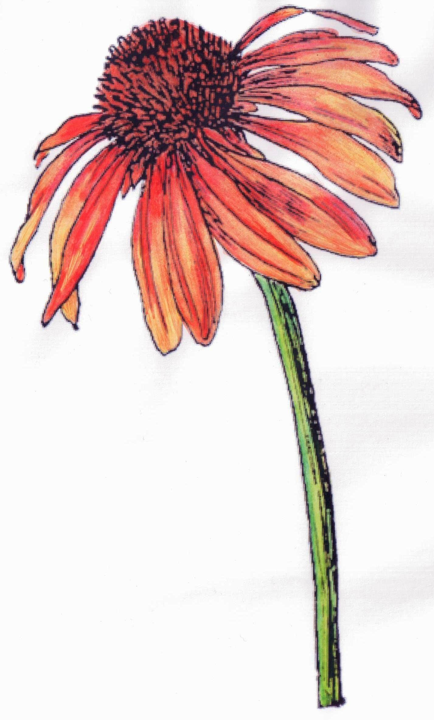 Zonnehoedje bloem kleurplaat - flower colouring page / met ...