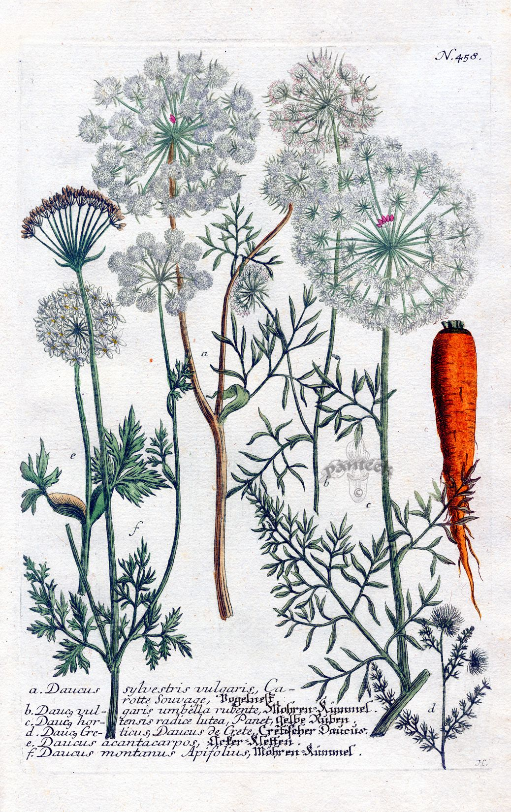 Johann Wilhelm Weinmann...I KNEW I smelled 'carrots' when I handled Queen Ann's Lace!