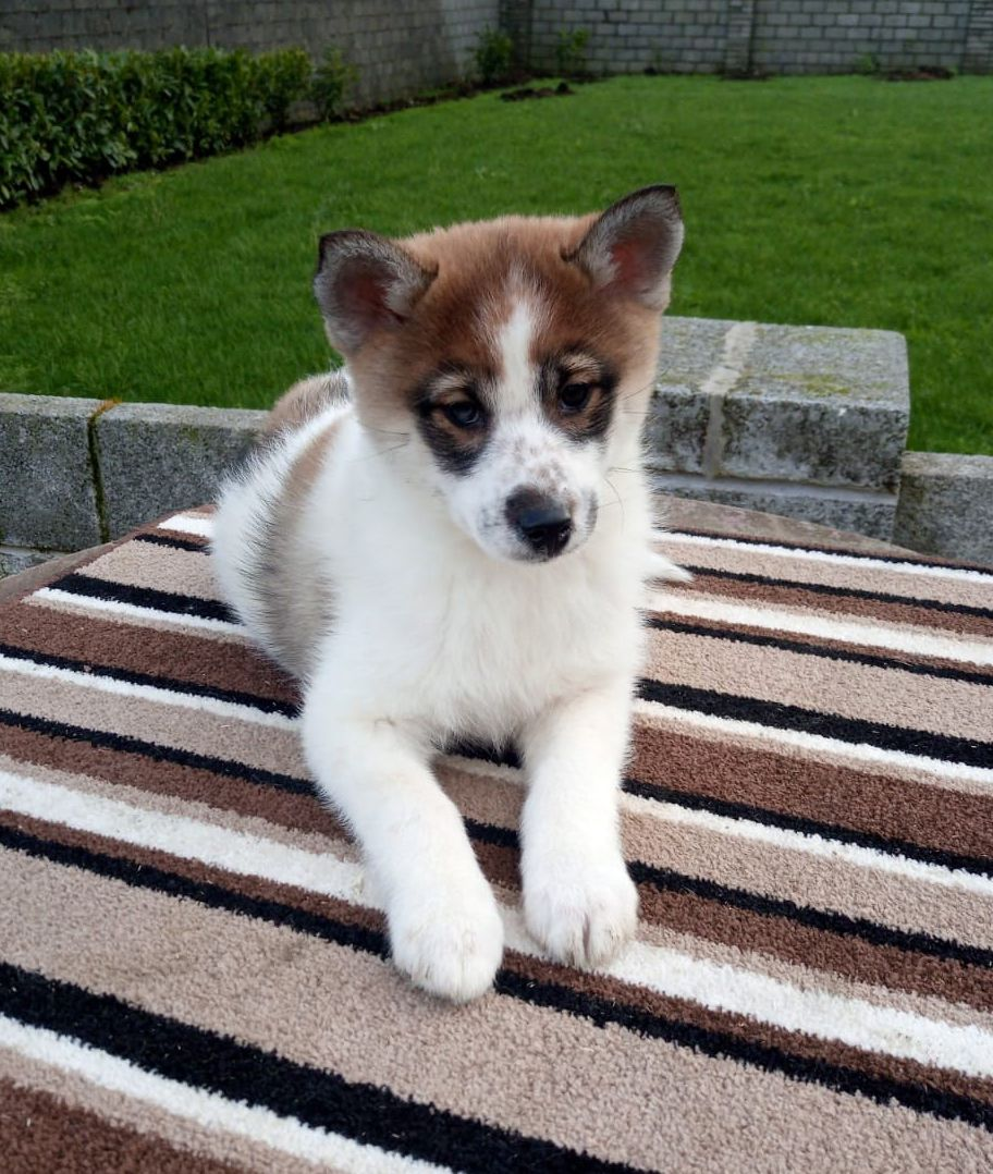 F2 Pomsky For Sale Pomsky Puppies Pomsky Puppies