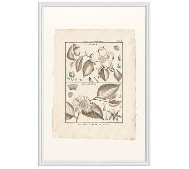 Botanical Plate 593, 16 x 20\