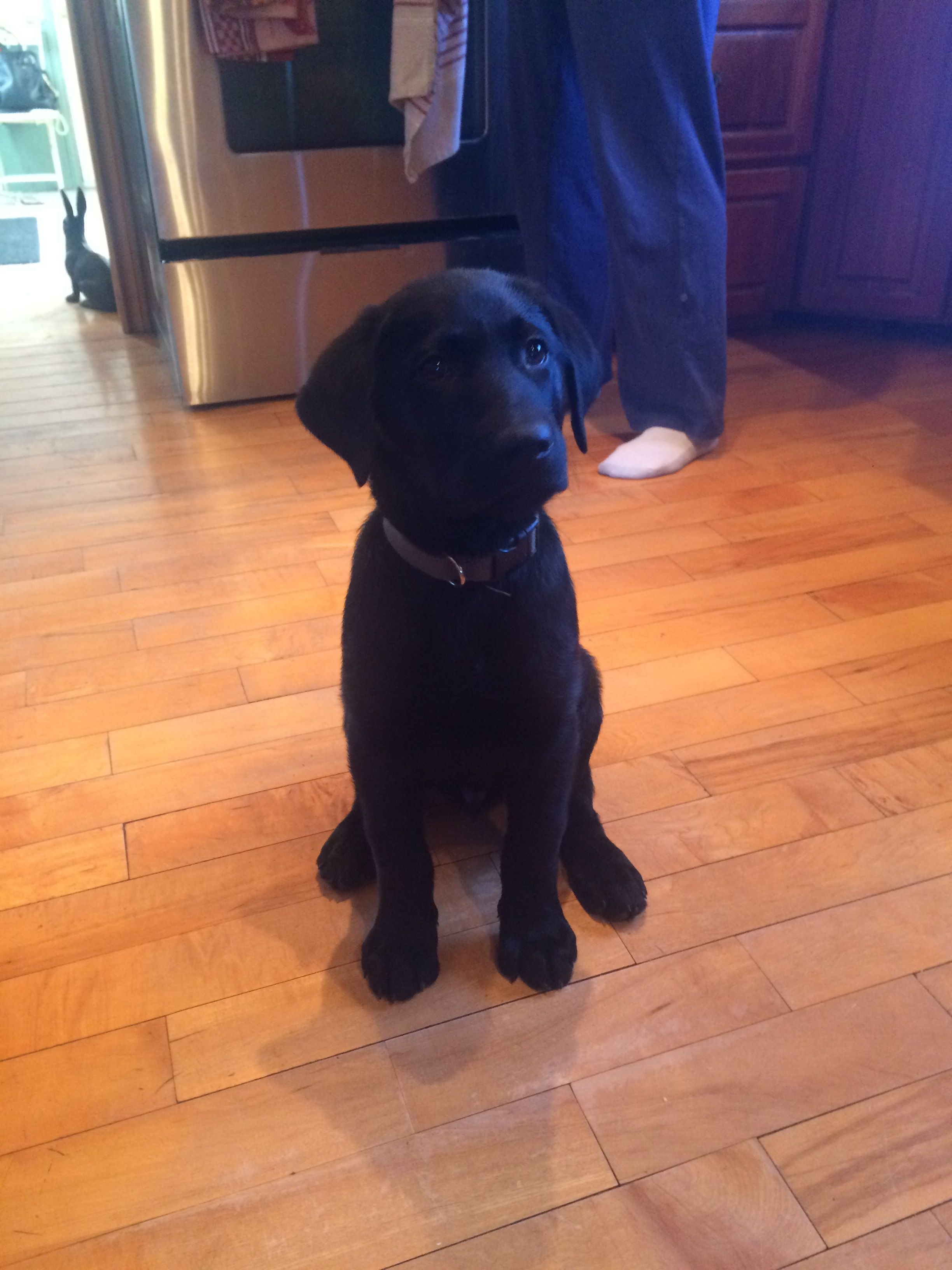 11 Week Old Black Lab Labrador Retriever Lab Puppy Training