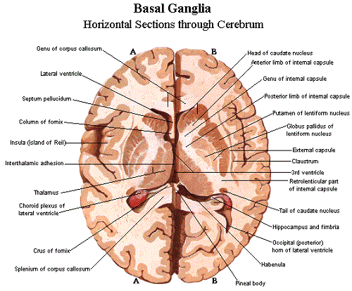 In the anatomy of humans and of many other vertebrates the in the anatomy of humans and of many other vertebrates the brainstem or brain ccuart Image collections
