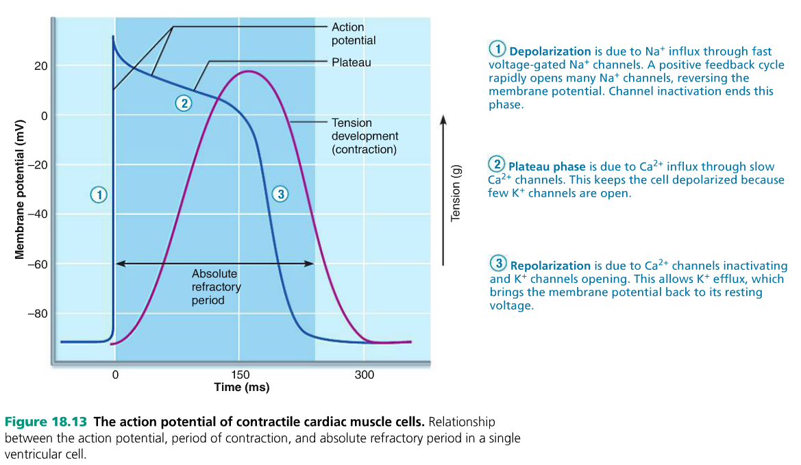 The action potential of contractile cardiac muscle cells. Calcium is ...