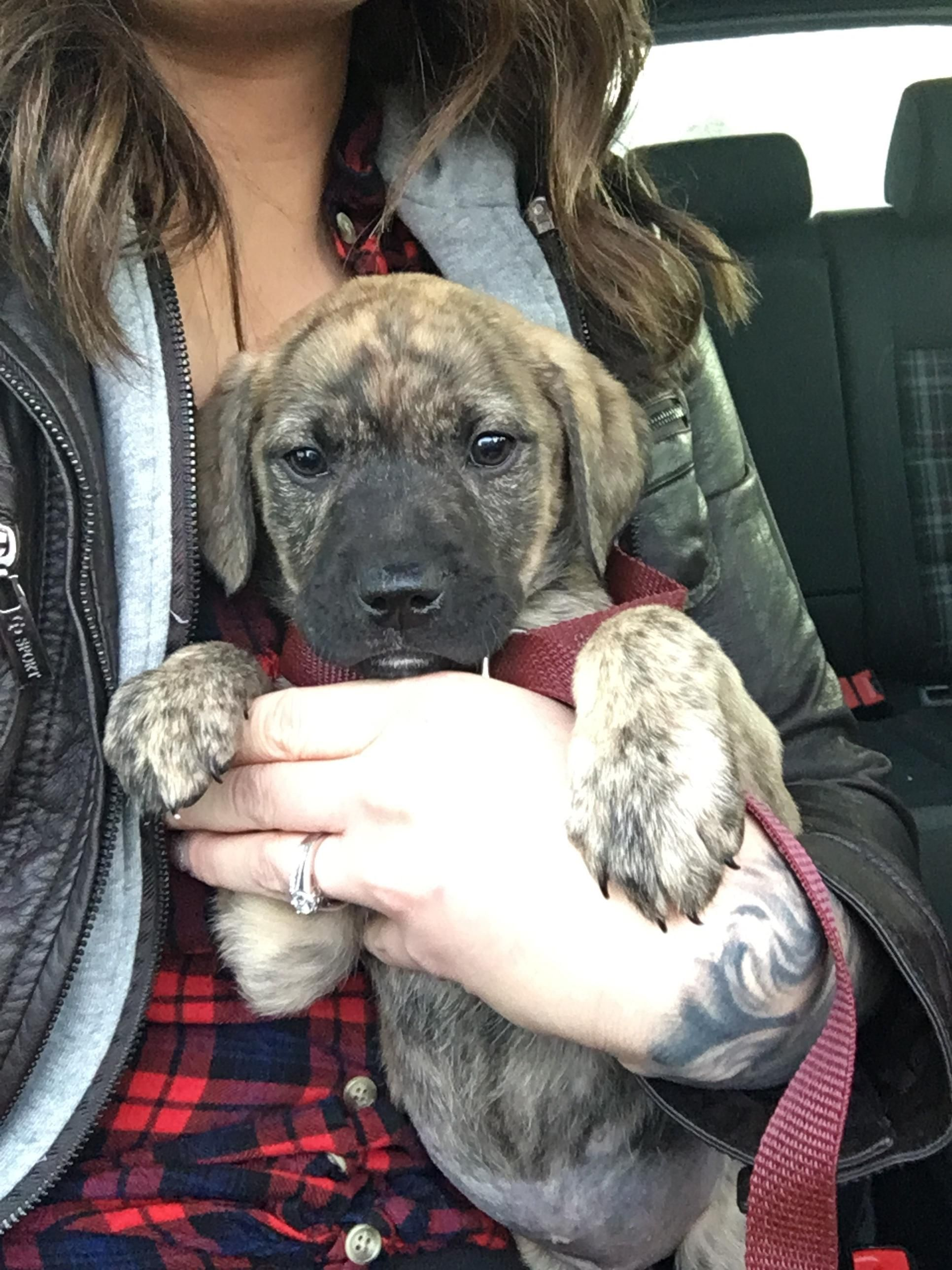 Adopted Our Brindle Baby Nova This Past Christmas Shes A Boxer Lab Mix Https Ift Tt 2j3qelc Lab Mix Puppies Boxer Lab Mixes Boxer Lab Mix Puppies