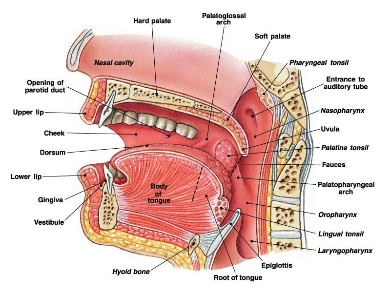 Human Pharynx | ... FREE USMLE Medical Images » pharynx ...