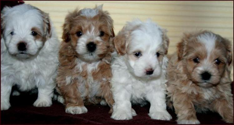 Maltipoo Maltipoo puppy, Maltese poodle, Poodle puppy
