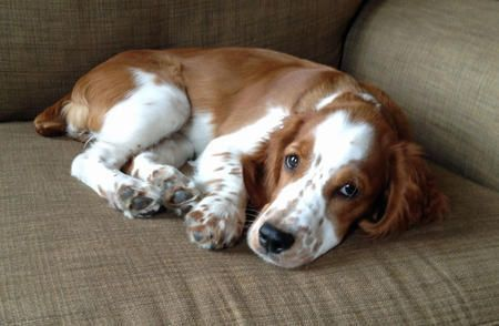 Penny Lane The Welsh Springer Spaniel Puppies Daily Puppy Chien Cocker