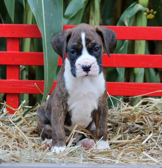 #CuteNCuddly #MansBestFriend #PuppyLove #Boxer #BoxerLove #BuckeyePuppies #Loyal www.BuckeyePuppies.com