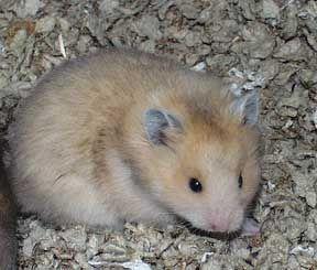 Smoke Pearl Sh Syrian Hamster Syrian Hamster Cute Hamsters Hamster