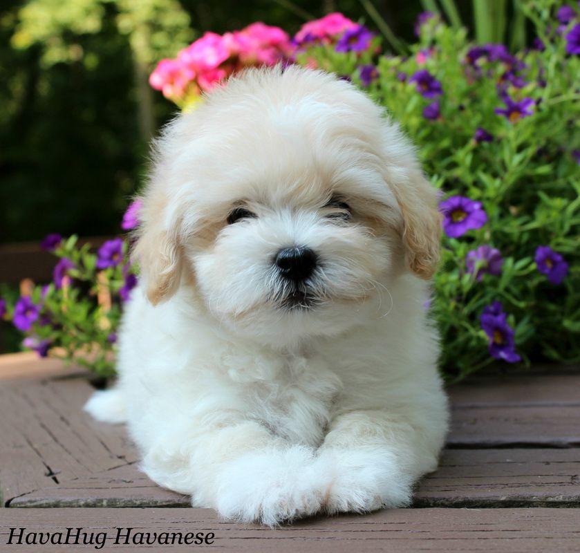 Havanese Puppies For Sale & Breeders in Delaware USA