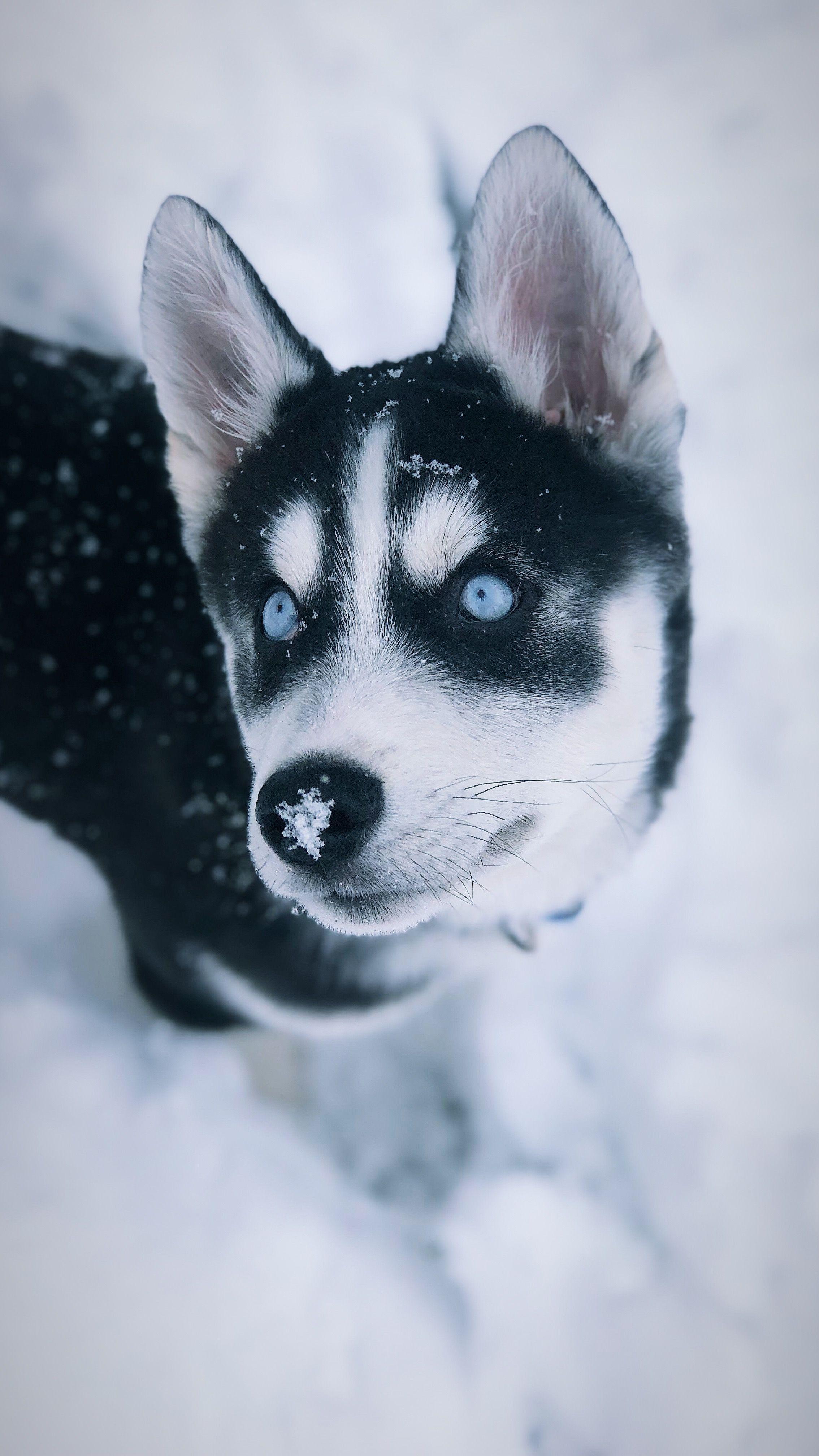 Snow Days Siberian Husky Puppy Siberianhuskypuppy Siberian