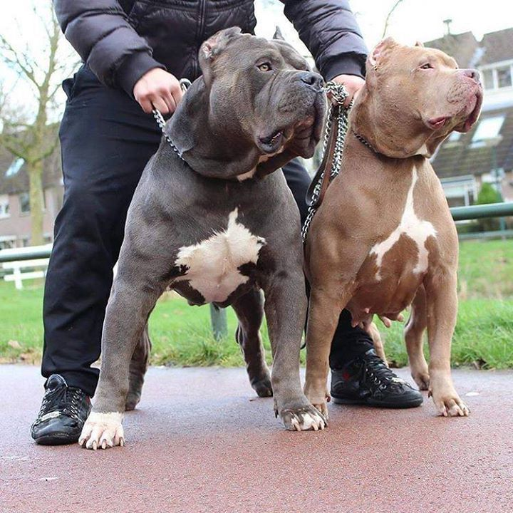 Pitbulls Are Love See More At Fb Me Pitloversclub Pitbull Pitbullsofinstagram Pitbulls Pitbulllove Pitbulladvocate P Pitbulls Pitbull Dog Pitbull Terrier