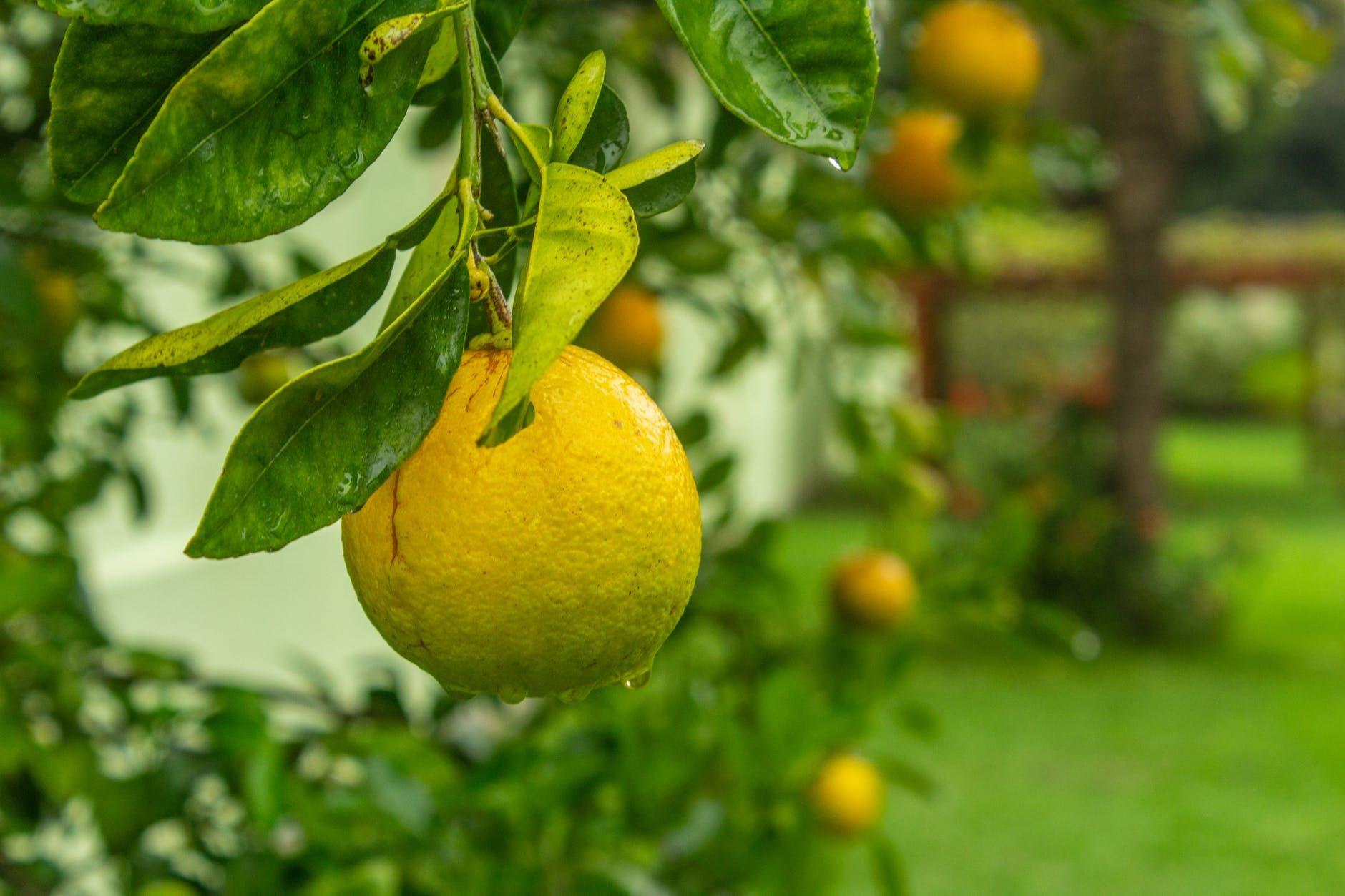 Graft Your Own Designer Fruit Trees Backwoods Home Magazine Citrus Trees Fruit Salad Tree Fruit