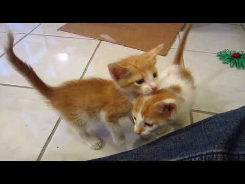 853 Little Kittens Exploring Their Play Area 4 Weeks Old Peaches Cream Youtube Little Kittens Kittens Pets