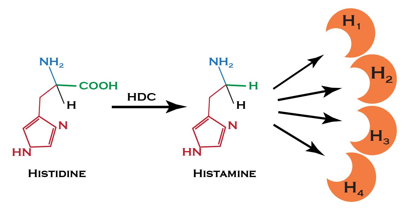 Histamine Intolerance: Understanding the Science | Mast Cell