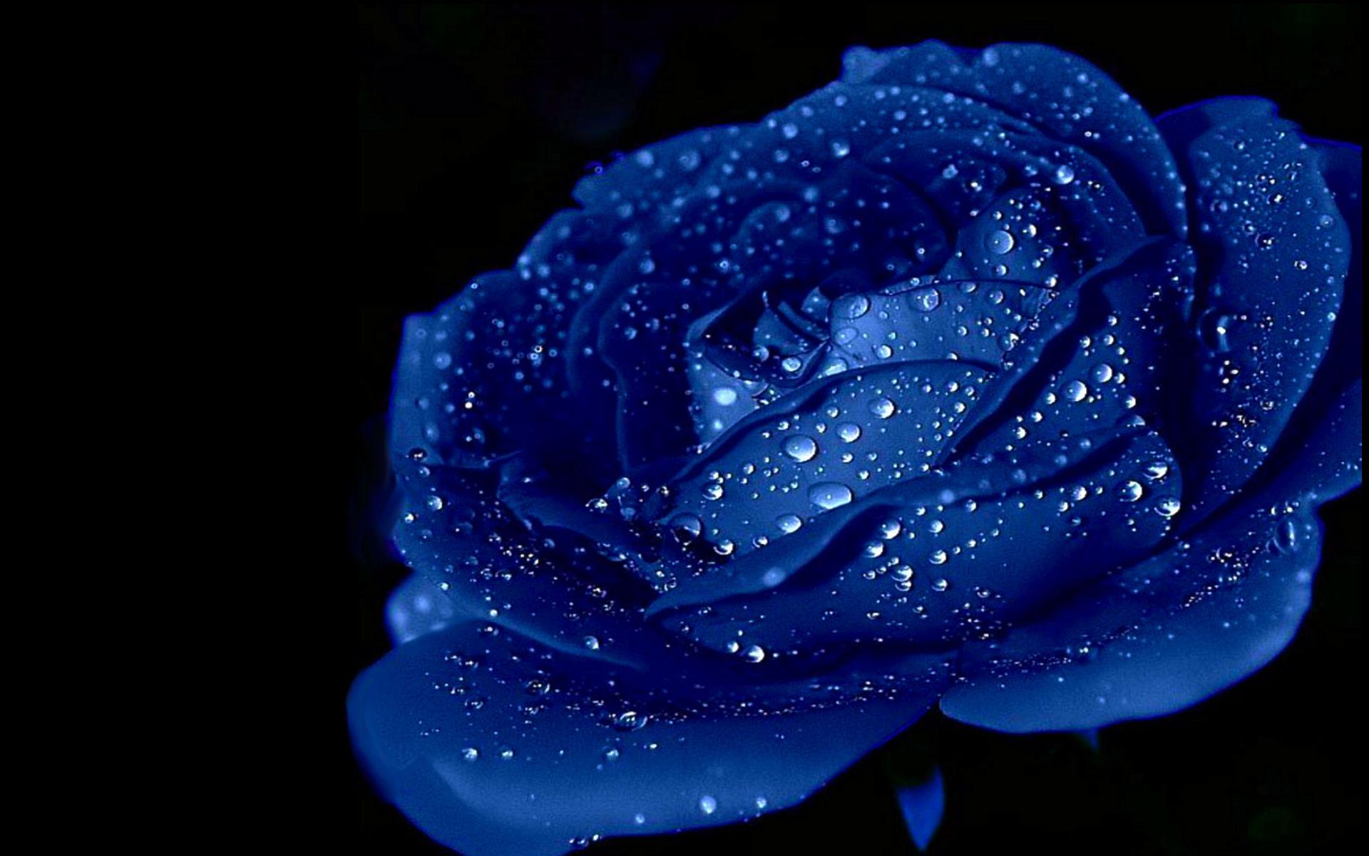 pinmari land on flowers | pinterest | blue roses, rose wallpaper