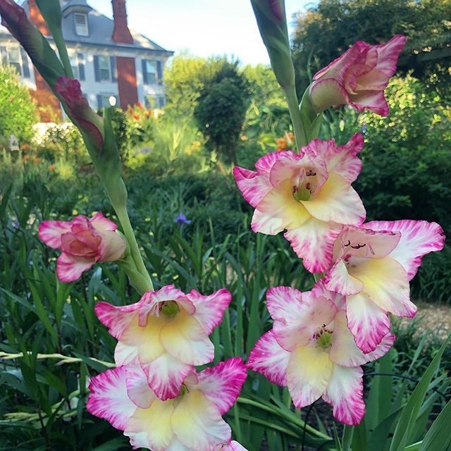 [New] The 10 Best Garden Ideas Today (with Pictures) - The first year weve had gladioli in the gardens. The name comes from the Latin word for sword due to their long spikes but they are certainly a lot more fragile. . . We are a bed and breakfast in Greensboro GA near Lake Oconee with two acres of English cottage style gardens. . . The 10 Best Garden Ideas Today (with Pictures) -  The first year weve had gladioli in the gardens. The name comes from the Latin word for sword due to their long spikes but they are certainly a lot more fragile. . . We are a bed and breakfast in Greensboro GA near Lake Oconee with two acr...