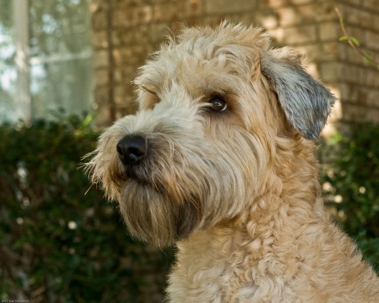 soft coated wheaten terrier | Desiderio | Pinterest ...