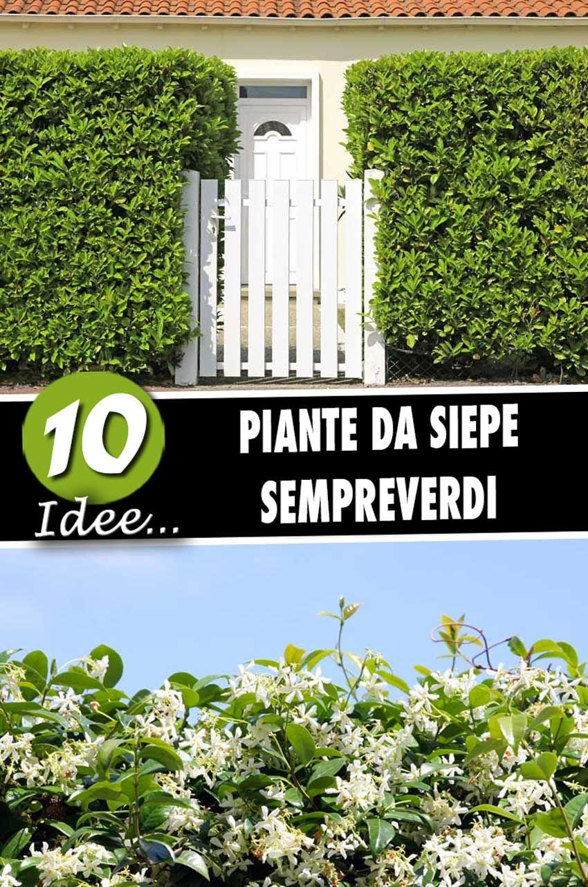 Foto Di Piante Sempreverdi 10 piante da siepe sempreverdi per una copertura tutto l