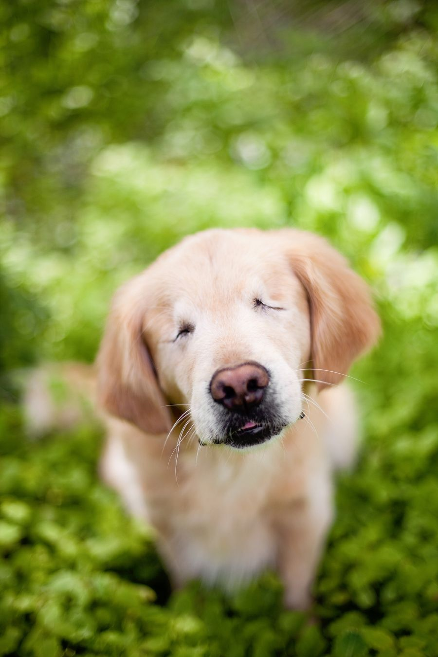 Smiley The Golden Retriever By Happy Tails Pet Photography Puppy - Born blind smiley the golden retriever becomes a loving therapy dog