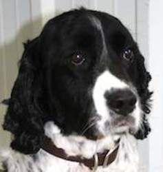 Adopt Hank On English Springer Springer Spaniel Spaniel Dog