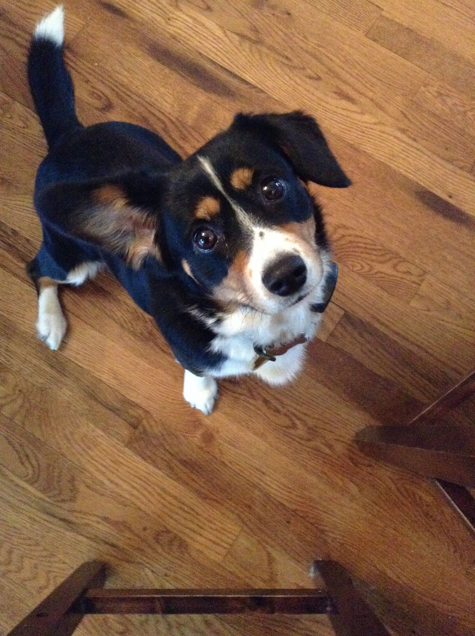 Cooper He S A Cavalier King Charles Spaniel And Welsh Corgi Mix