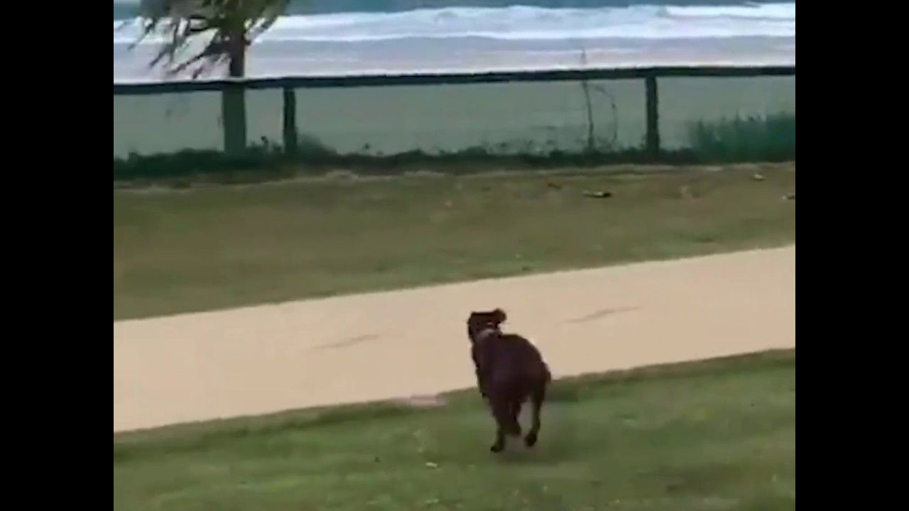 Dog jumps fence to get to beach dog jumping fence dog