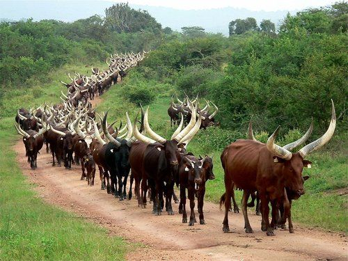 "Ankole Cows or ""cattle of kings"" Yep you are seeing correctly, cows with huge long horns."