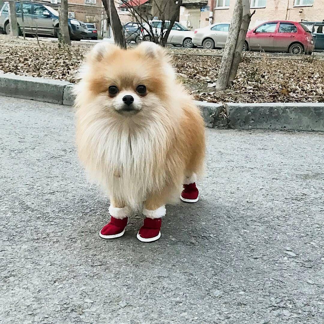 So Cute Cute Pomeranian Cute Dog Pictures Cute Baby Animals
