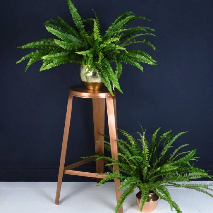 Wonderful indoor houseplant sword fern polystichum munitum that ...